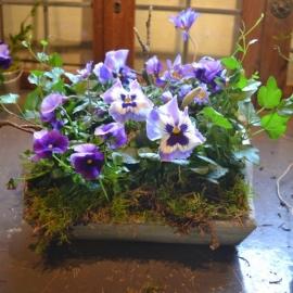 3. Vrolijke viooltjes in vierkanten bakje  € 13,50 (25 cm)